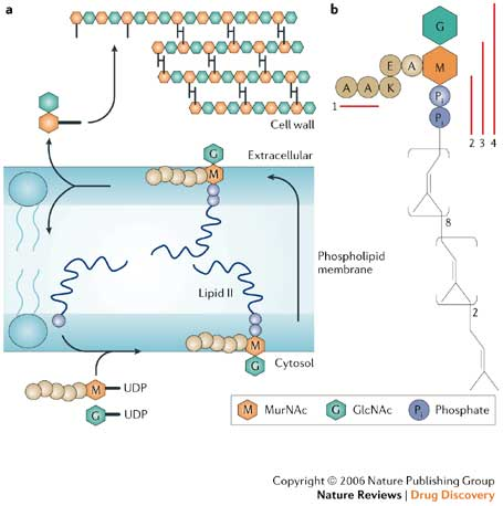 Figure 2. Schematic representation of the bacterial cell wall synthesis cycle. (a) A disaccharide with a pendent pentapeptide is assembled on a membrane-anchored carrier to produce Lipid II, which then transports the monomer for peptidoglycan polymerization from the cytoplasmic to extracellular side of the membrane. The membrane-anchored portion delivers the cargo to the growing cell wall, and is recycled back to the cytoplasmic side to continue the process. (b) Structure of Lipid II. The membrane-anchored carrier is a polyisoprenoid consisting of eight isoprene units in the cis-conformation, followed by two units in the trans-conformation, and the terminal isoprene unit. The cell wall monomer carried by the polyisoprenoid contains a disaccharide with a pendent pentapeptide. The residue 3 lysine of the pentapeptide is coupled to the glutamate at position two via the side chain carboxylate. Figure adapted from [7] and used with permission.